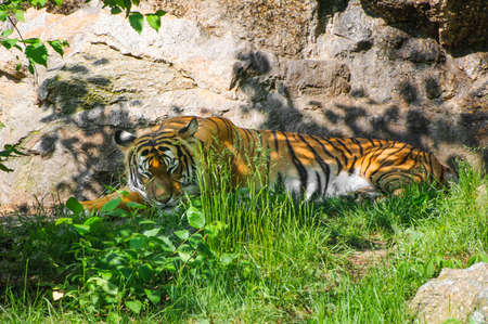 Sleeping tiger relaxing in grass and shadow at sunny day