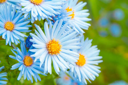 Blue spring daisy flowers in formal garden Stock Photo