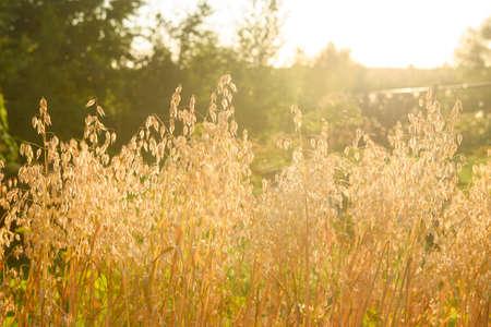 Golden oat field in late August, counter light Фото со стока - 131726210