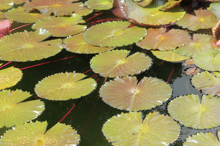 Waterlilies floating in a pond