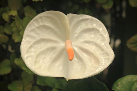 White anthurium flower detail
