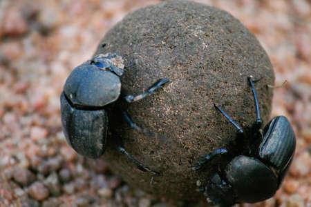 dung: Dung Beetles Stock Photo