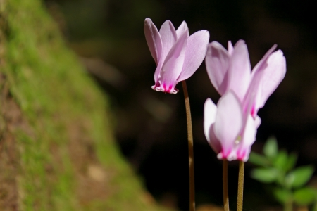 An image of three Cyclamens   family of Myrsinaceae   in a woodland scenery photo