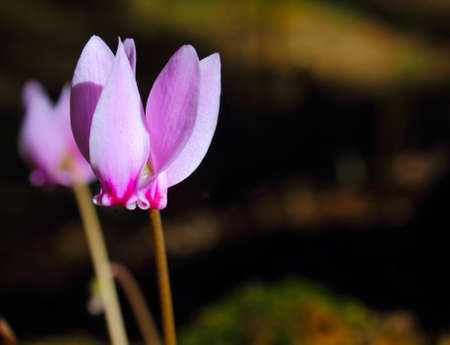 An image of Cyclamens  (family of Myrsinaceae)  in a woodland scenery photo