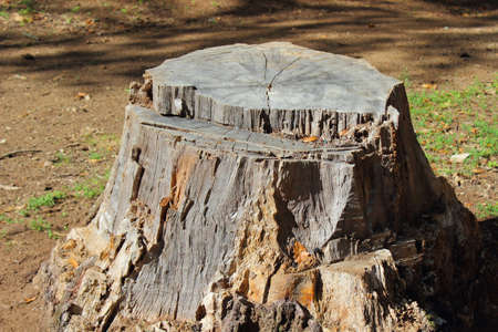 truncated: A shot of a sawn trunk in Manziana forest near Rome - Italy Stock Photo