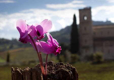abbazia: Some cyclamens flowers with the tuscan abbey of Sant'Antimo in the background
