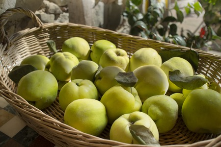 A lot of ripe quinces in a wiker basket, a typical autumn composition