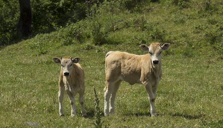 Two young calves are looking at the camera while feeding in a field in a rural environment in a clear, sunny day