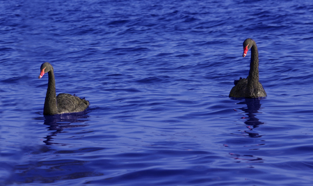 A couple of black swan are swimming together in blue water