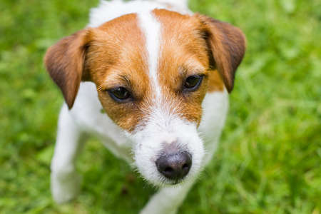 dog Jack Russell Terrier on the grass