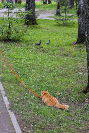 ginger cat stalks the pigeons on the street