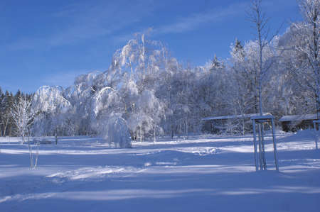 Birchs covered with hoar frost  Stock Photo - 8770899