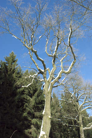 Bare deciduous tree in winter Stock Photo - 8770930
