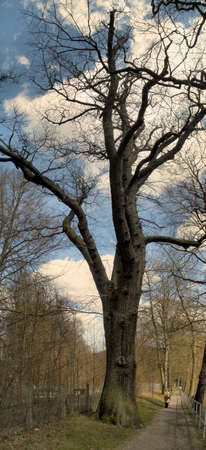 A bare tree aspires in the blue sky Stock Photo - 9296140
