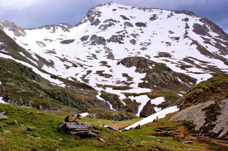 mountain goats: Capre di montagna delle Alpi dello Stubai in alto adige, Italia. cielo scuro e montagne innevate Archivio Fotografico