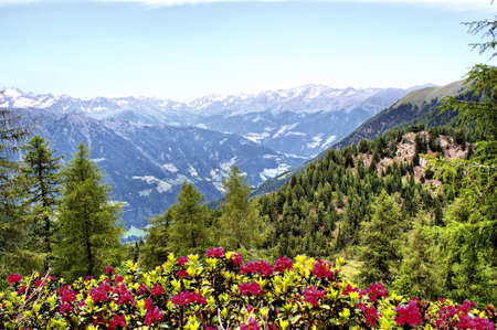 tyrol: mountainworld and alpine roses in south tyrol, italy