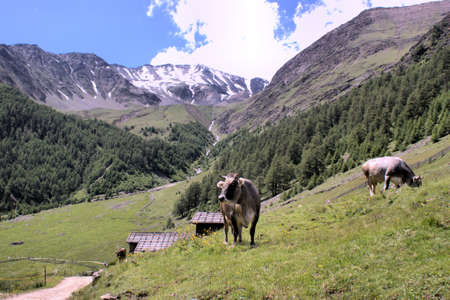 Grazing cows in the mountains of South Tyrol in Italy. Snow-capped mountains and forested slopes; blue sky and white clouds; it photo