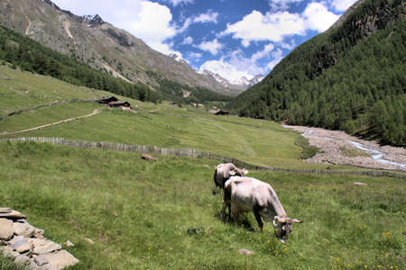dried up: Summer in South Tyrol; grazing cows, mountain huts, a dried up river bed, blue sky and white clouds Stock Photo