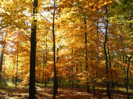 Colorful forest in fall; view into the autumn forest with yellow leaves photo