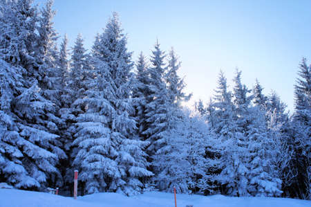 Winter forest; deep snowy spruces, back light