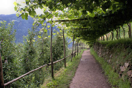 Under a roof of leaves; convenient way through apple orchards and vineyards in South Tyrol photo