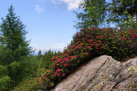 Alpine roses on a rock; on a large rock is a carpet of blooming rhododendron, larches and blue sky photo