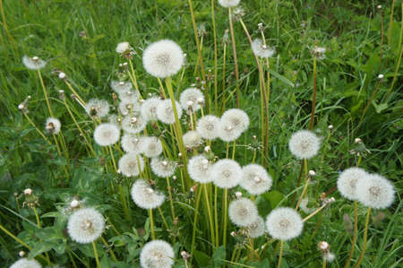 Dandelions and clover in green grass; summer meadow photo