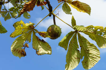 A branch with a chestnut and wilting chestnut leaves, in the background blue sky and white clouds; sunny day in autumn, view from a frog perspective photo
