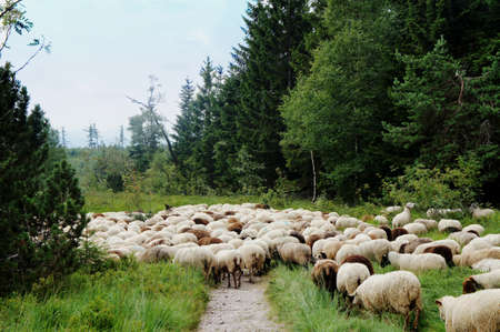 blueberry bushes: White and dark sheep cross a hiking trail in the Black Forest in Germany, blueberry bushes and spruces