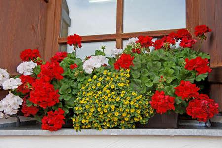 Blumenschmuck an einem Fenster in Tirol, bunten Blumen, rote und weiße Geranien, gelb Sanvitalia