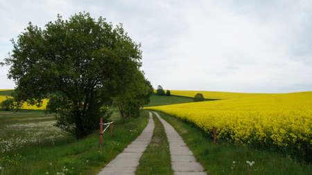 frhling: Weg durch blühende Rapsfelder und eine Wiese mit Pusteblumen im Frühling  Way through flowering rape-seed fields and a meadow with dandelions in spring
