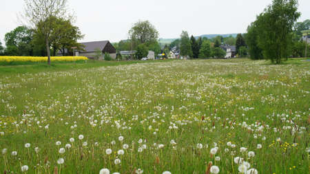 erzgebirge: Dandelions and buttercups in meadow green grass and rapeseed field in spring at the edge of a village