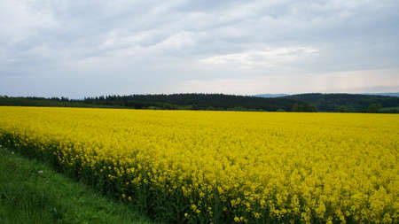 erzgebirge: A rapeseed field in the foreground and in the background the wooded hill of the Erzgebirge Stock Photo