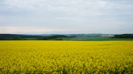 erzgebirge: A rapeseed field in the foreground and in the background the wooded hill of the Ore Mountains in Germany