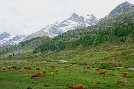 swiss alps: Cows on a mountain pasture in the Swiss Alps, a meadow surrounded by snow-capped mountains in the canton of Graubunden Stock Photo