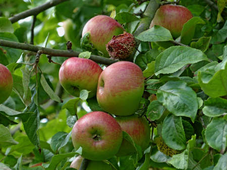 pome: Healthy and rotten apples on a tree
