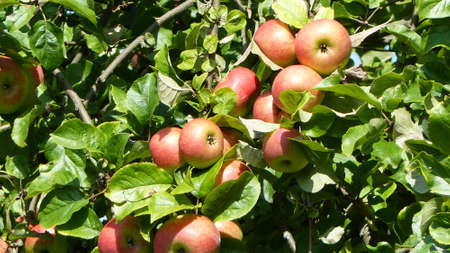 pome: Red apples on a tree at a sunny day in summer