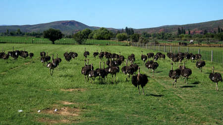 ratite: On an ostrich farm in South Africa, behind a fence are male ostriches with a black plumage and white feathers on a meadow, in the background the Swartberg Mountains Stock Photo