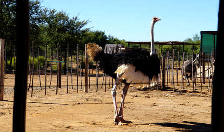 ratite: On an ostrich farm in South Africa, behind a fence a male ostrich with a black plumage and white feathers
