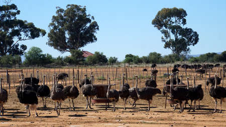 ratite: On an ostrich farm in South Africa, behind a fence are male ostriches with a black plumage and white feathers Stock Photo