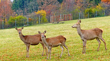 Roe deer in an animal enclosure in Ore Mountains in Germany, three female animals on a meadow