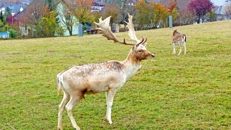 fallow deer: Fallow deer in an animal enclosure in Ore Mountains in Germany, fallow deer buck and a female animal in summer coat
