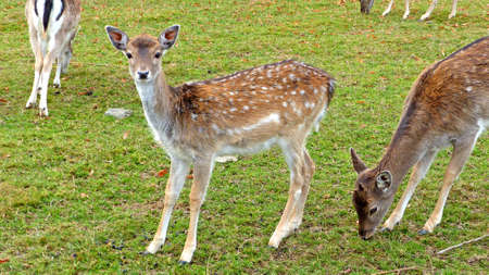 ungulate: Fallow deer in an animal enclosure in Ore Mountains in Germany, female animals in summer coat, closeup