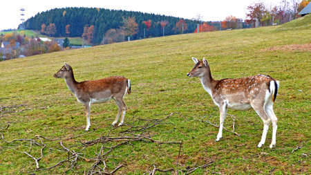 enclosure: Fallow deer in an animal enclosure in Ore Mountains in Germany, two female animals in summer coat