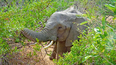 pachyderm: A elephant in Kruger National Park in South Africa
