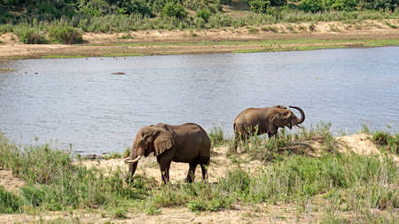 pachyderm: Elephants bulls at a river in Kruger National Park in South Africa Stock Photo