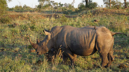 wildanimal: A rhino in the Kruger National Park in South Africa, on the mighty body are two Red-billed Oxpeckers on foraging