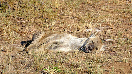 mornings: A spotted hyena if asleep in the morning sun in the Kruger National Park in South Africa