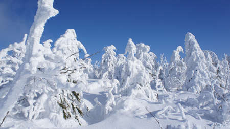 ore: winter wonderland on the Fichtelberg in the Ore Mountains in Saxony, Germany, thick snowy spruces and blue sky
