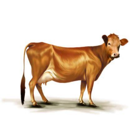 teats: Orange Cow Stock Photo